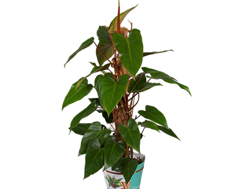 "Philodendron erubescens ""Red Emerald"""